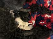 スタンダード・プードル 2021年01月07日生まれ ブラック 男の子
