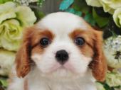 キャバリア・キング・チャールズ・スパニエル 2017年08月17日生まれ ブレンハイム 男の子