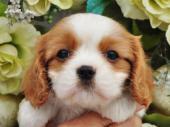 キャバリア・キング・チャールズ・スパニエル 2017年08月17日生まれ ブレンハイム 女の子