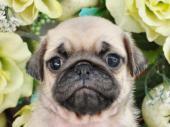 パグ 2017年08月22日生まれ フォーン 女の子