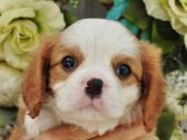 キャバリア・キング・チャールズ・スパニエル 2018年05月29日生まれ ブレンハイム 男の子