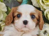 キャバリア・キング・チャールズ・スパニエル 2019年07月08日生まれ ブレンハイム 女の子