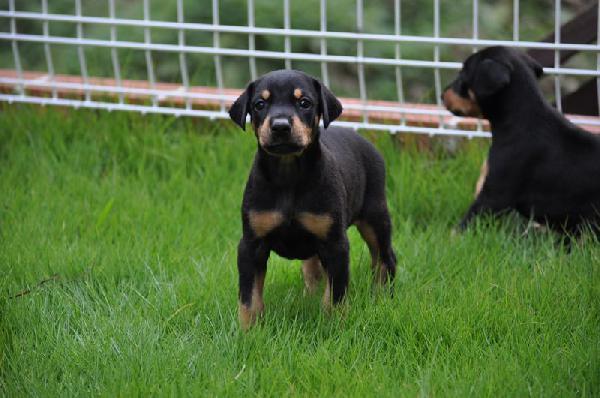 お庭で遊ぶド―ベルマンの子犬