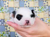 パピヨン 2016年10月16日生まれ トライ 男の子