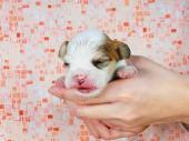 パピヨン 2016年12月18日生まれ ホワイト&シルバーセーブル 女の子