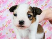 パピヨン 2017年02月10日生まれ ホワイト&レッド 男の子
