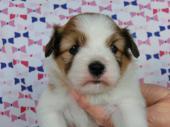 パピヨン 2017年02月15日生まれ ホワイト&レッド 女の子