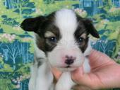 パピヨン 2017年02月19日生まれ ホワイト&セーブル 男の子
