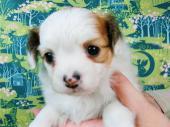 パピヨン 2017年04月25日生まれ ホワイト&レッド 女の子