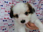 パピヨン 2017年05月12日生まれ ホワイト&レッド・セーブル 男の子