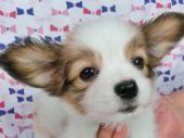 パピヨン 2017年05月03日生まれ ホワイトアンドレッドセーブル 女の子