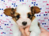 パピヨン 2017年05月11日生まれ ホワイト&レッド・セーブル 女の子