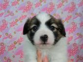 パピヨン 2017年05月22日生まれ ホワイト&レッド・セーブル 女の子