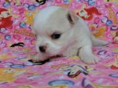 チワワ(ロングコート) 2017年06月16日生まれ ホワイト&フォーン 男の子