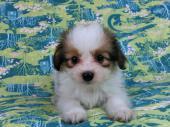 パピヨン 2017年07月03日生まれ ホワイト&レッド・セーブル 男の子