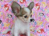 パピヨン 2017年07月05日生まれ ホワイトアンドシルバーセーブル 女の子