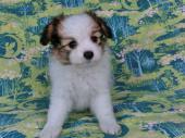 パピヨン 2017年08月08日生まれ ホワイト&レッド・セーブル 女の子