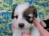 パピヨン 2017年10月21日生まれ ホワイト&レッド・セーブル 男の子