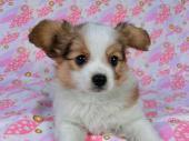 パピヨン 2017年12月07日生まれ ホワイト&レッド・セーブル 女の子