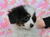 パピヨン 2017年12月15日生まれ トライ 女の子