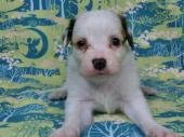 パピヨン 2018年05月23日生まれ ホワイト&レッド・セーブル 男の子