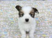 パピヨン 2019年01月11日生まれ ホワイト&レッドセーブル 男の子
