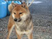 柴犬(小型・豆柴) 2019年01月17日生まれ 赤 男の子