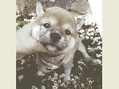 柴犬(小型・豆柴) 2016年10月31日生まれ 赤 女の子