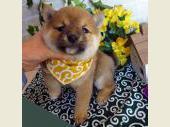 柴犬(小型・豆柴) 2017年01月18日生まれ 赤 男の子