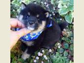 柴犬(小型・豆柴) 2017年04月13日生まれ 黒 男の子