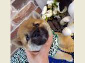 柴犬(小型・豆柴) 2017年04月10日生まれ 赤 男の子