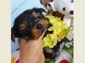 ヨークシャー・テリア 2017年05月02日生まれ スチールブルー&タン 男の子