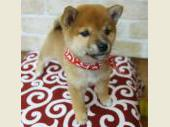 柴犬(小型・豆柴) 2017年08月06日生まれ 赤 女の子