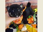 柴犬(小型・豆柴) 2017年07月20日生まれ 黒 女の子