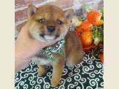 柴犬(小型・豆柴) 2017年08月08日生まれ 赤 男の子