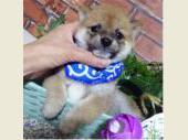 柴犬(小型・豆柴) 2017年08月02日生まれ 赤 男の子
