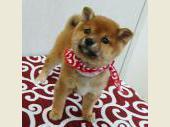 柴犬(小型・豆柴) 2017年08月21日生まれ 赤 女の子