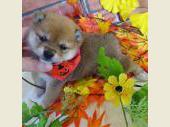 柴犬(小型・豆柴) 2017年10月05日生まれ 赤 女の子