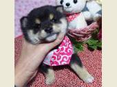 柴犬(小型・豆柴) 2017年10月18日生まれ 黒 女の子