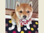 柴犬(小型・豆柴)