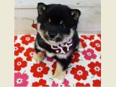 柴犬(小型・豆柴) 2018年01月10日生まれ 黒 女の子