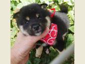 柴犬(小型・豆柴) 2018年05月11日生まれ 黒 女の子