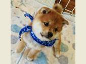 柴犬(小型・豆柴) 2018年05月15日生まれ 赤 男の子