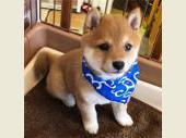 柴犬(小型・豆柴) 2018年10月05日生まれ 赤 男の子