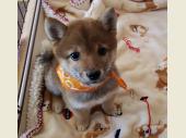 柴犬(小型・豆柴) 2018年11月14日生まれ 赤 男の子