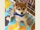 柴犬(小型・豆柴) 2018年11月23日生まれ 赤 男の子
