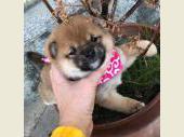 柴犬(小型・豆柴) 2018年12月22日生まれ 赤 女の子