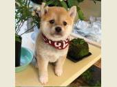 柴犬(小型・豆柴) 2018年12月17日生まれ 赤 女の子