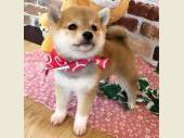 柴犬(小型・豆柴) 2018年12月18日生まれ 赤 女の子