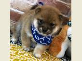 柴犬(小型・豆柴) 2019年02月05日生まれ 赤 男の子